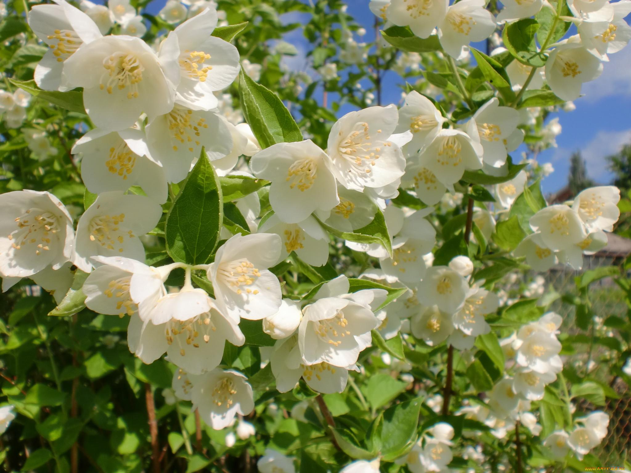 Фото цветов жасмина высокого разрешения